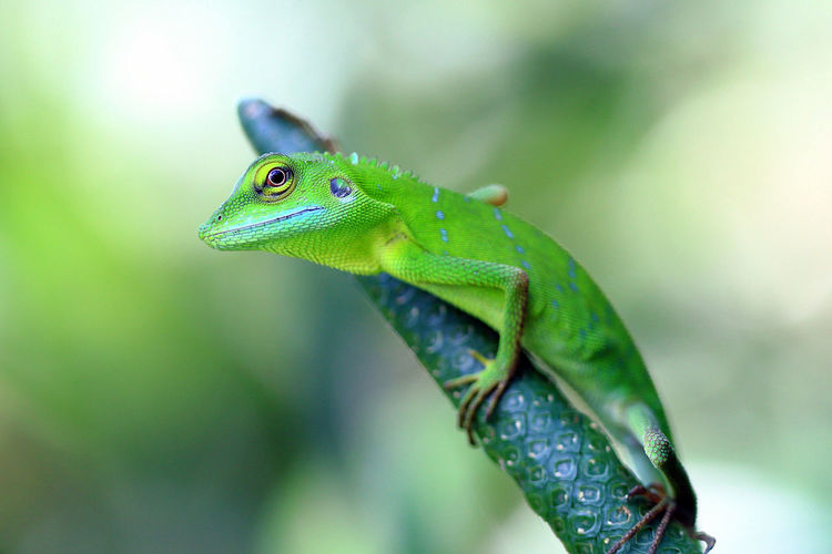 Animal close-up photo of a green lizard in nature. Animal Photography Animal Themes Animal Wildlife Animals In The Wild Background Beautiful Bokeh Branch Chameleon Close-up Day Detail Garden Gecko Green Color Jungle Lizard Natural Light Nature Nature Beauty No People One Animal Outdoors Reptile Wildlife & Nature