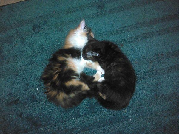 Upside down kitten heart <3 Animal Themes Domestic Animals Pets Close-up Kittens Kittensnuggles Loving