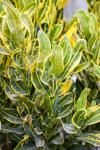 Beautiful Codiaeum Variegatium Croton Freshness Garden Croton Green Color Growth Beauty In Nature Beauty In Nature Close-up Day Foliage Fresh Freshness Full Frame Garden Green Color Growth Leaf Leaves Nature No People Outdoors Plant Variegated Laurel Yellow