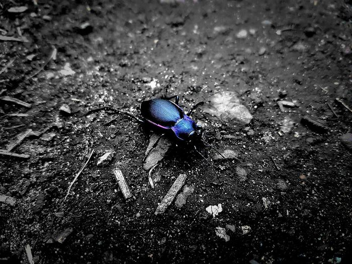 """""""Violet Ground Beetle"""" ..I changed the background to B&W to show the beetles colours off more. Insect Wildlife No People Close-up Nature Outdoors EyeEm Nature Lover Beauty In Nature S7 Edge Photography Smartphonephotography S7 Edge Colours Beetle Insect Nature Beetle Closeup Shine Multi Colored Saturation"""
