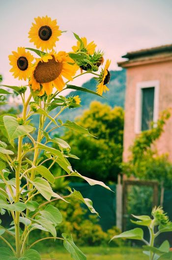 Countryside Country Country Life Country House Rural Scene Rural Rural Landscape Rural Life Sunflower Sunflowers Sunflowers🌻 Garden Garden Love Flower Head Flower Leaf Defocused Front Or Back Yard Close-up Plant Sunflower Wildflower Blooming Uncultivated In Bloom Plant Life