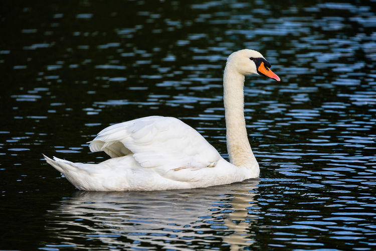 Beauty In Nature Bird Lake Nature Outdoors Swan Water White Color