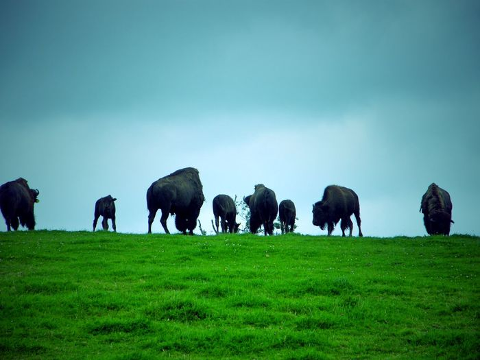 Animal Themes Beauty In Nature Bison Day European Bison Grass Grazing Herd Mammal Nature No People Outdoors Pasture Sky Wisent Grazing Animals