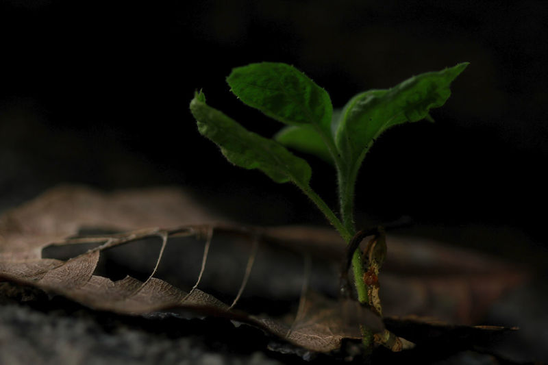 Small tree with dried leaves on the ground. Beauty In Nature Black Background Close-up Focus On Foreground Food Food And Drink Fragility Freshness Green Color Growth Leaf Leaves Nature Night No People Outdoors Plant Plant Part Selective Focus Small Tree Small Trees Studio Shot