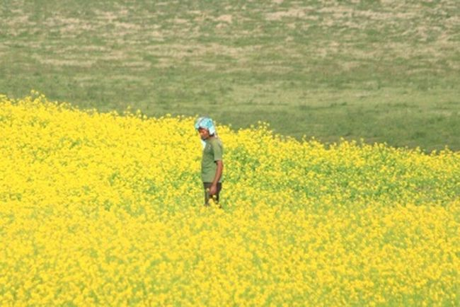 Farmer in mustard fields Yellow People Day Farmer Farmers Life Farmer's Life Farmer In His Fields Mustard Fields Mustard Flower Mustard Mustard_yellow India Indiapictures First Eyeem Photo