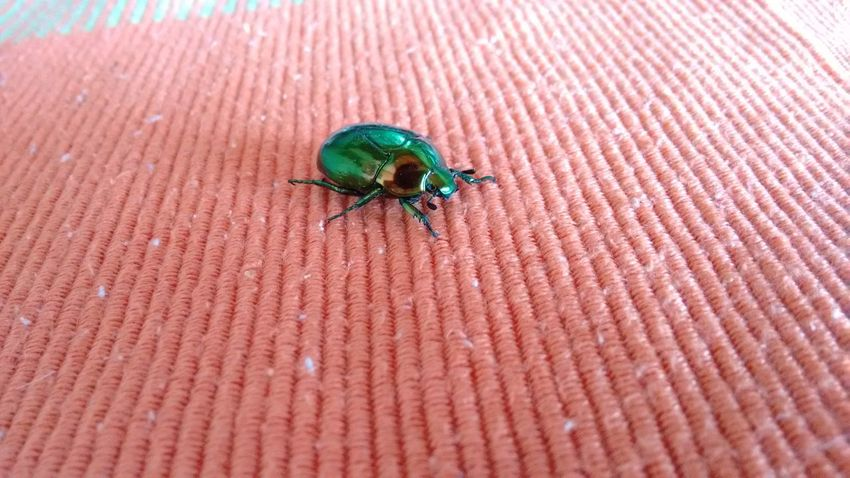 Litmus beetle Beetle Bug Beetlebeetle Eyeemnaturelover Eyeem Nature Lover Eyeemphotography Naturenature Lovers Macro Beetle Insect Nature Animals Insects  Rare Insects Animals In The City Colorful Insects Colorful Beetle Eyeem Insects Insects Of Eyeem Animals Of Eyeem