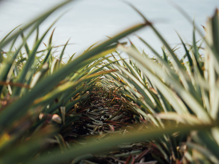Close-up of pine tree on field