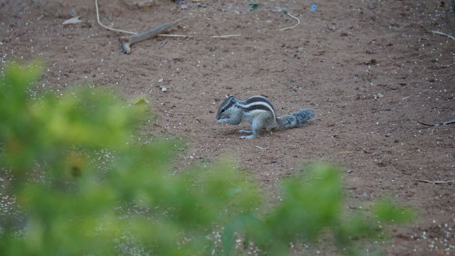 Squirrel having grains Indian Palm Squirrel Animal Themes Animal Wildlife Animals In The Wild Day Nature No People One Animal Outdoors Reptile Sony A6000 Sonyalpha SonyAlpha6000 Species Of Rodent Squirrel Three-striped Palm Squirrel