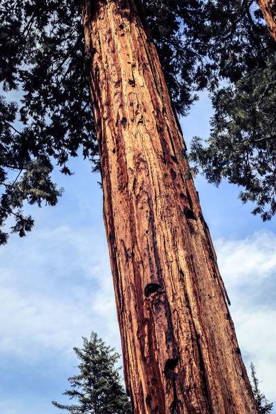 Sequoianationalpark California Sequoia Nature Travel Giantsequoia Sequoiatrees Sequoias USA Sequoianationalforest SequoiaPark Roadtrip Nationalpark Hiking Sequoiagrove Adventure Sequoiatree Sequoiakingsnps Sequoiaforest Sequoiaandkingscanyonnationalparks Forest Trees Mountains Naturephotography Kingscanyonnationalpark Optoutside Tree Branch Tree Trunk Sky