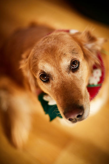 Golden retriever with christmas wreath looking innocently