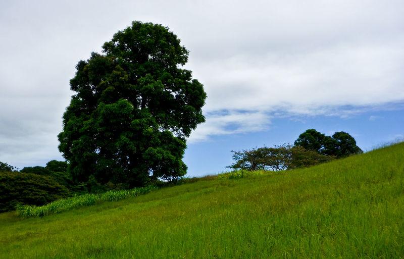 Green Grass Hawaii Hillside Landscape Outdoors Slanted Trees Tropical