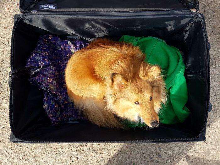 Collie Holiday - Event Holidays Travel Traveling Dog Dogs Of EyeEm Dogslife Suitcase Suitcases Luggage Luggage Trolleys Luggage, Travel  Little Dog One Animal Animal Themes Mammal Pets Animal Domestic Domestic Animals Dog