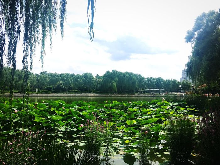Lotus Flower River View Tao Ranting Park