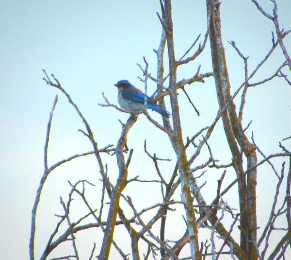 Scrubjay California Bird In A Tree Birds Bird Wildlife Bird Photography Bird Watching Avian Birds_n_branches