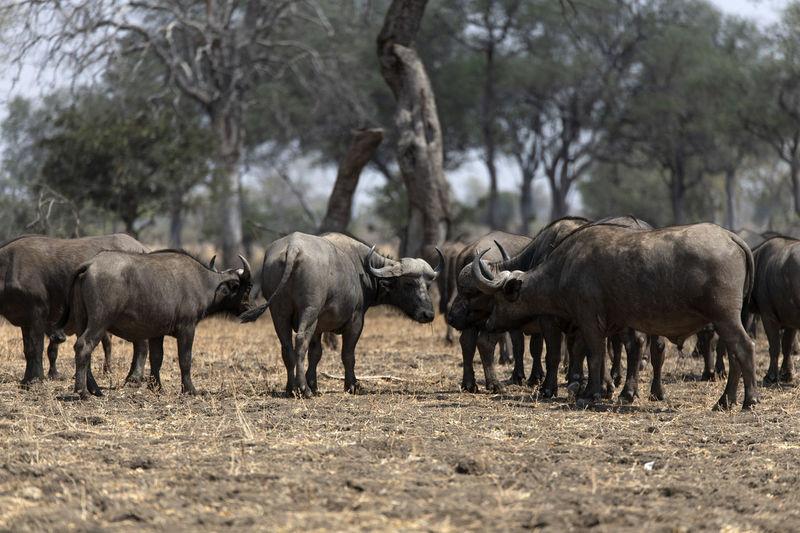Buffalos standing in a field