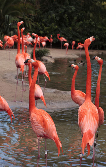 Pink Caribbean flamingo, Phoenicopterus ruber, in the middle of flock flamingos during breeding season. Avian Bird Breeding Season Caribbean Flamingos Feather  Flamingo Fly Long Neck  One Leg Perching Phoenicopterus Ruber Pink Pink Bird Pink Flamingo Wild Bird Wildbird Wings