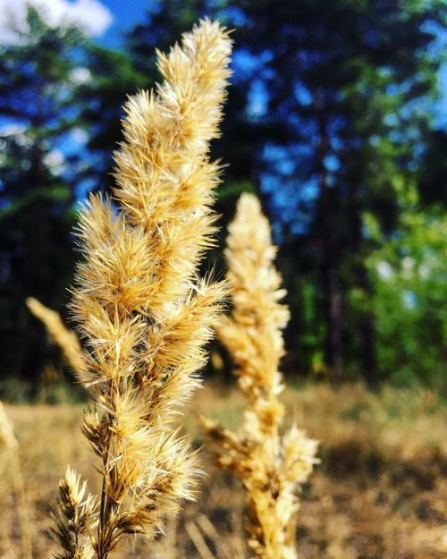 Spikelets колосья Nature Beauty In Nature Plant Day Outdoors No People Summer Forest Pineforest