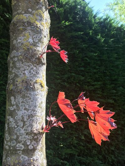 Trees are beautiful Morning Light Sun Red Leaves Leaves Day Nature Tree Tree Trunk Close-up