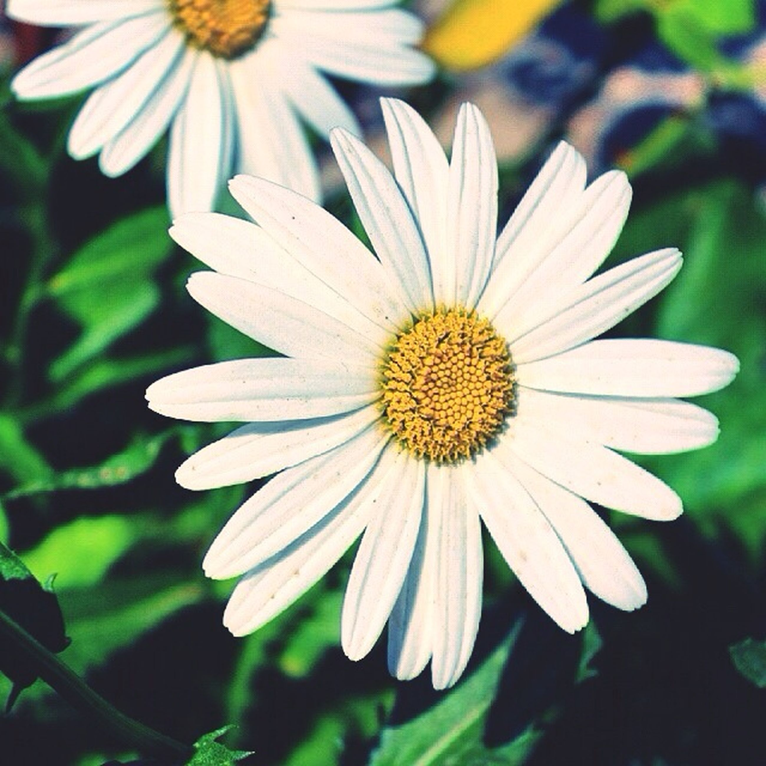 flower, petal, freshness, flower head, fragility, pollen, growth, close-up, beauty in nature, daisy, blooming, focus on foreground, nature, white color, single flower, yellow, in bloom, plant, stamen, day