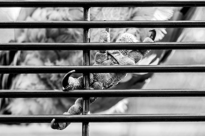 Animal Themes Bird Cage Claw Clinging On Close-up Day Feathered Friends Featheredbeauties Focus On Foreground Full Frame Metal Metal Grate No People Outdoors Security Bar