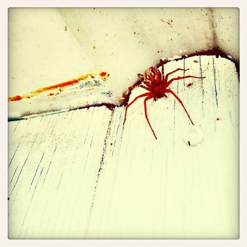 red spider Spider