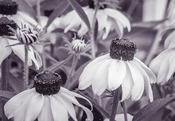Echinacea Garden flower Artistic Photo Beauty In Nature Blooming Close-up Day Echinacea Purpurea Fine Art Photography Flower Flower Head Fragility Freshness Garden Photography Growth Growth Nature No People Outdoors Petal Plant Summer Summertime