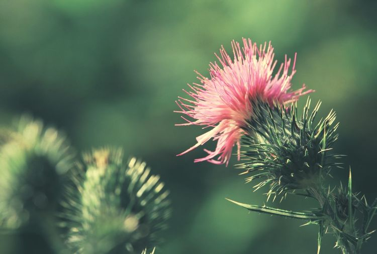 Close-up of pink thistle flower