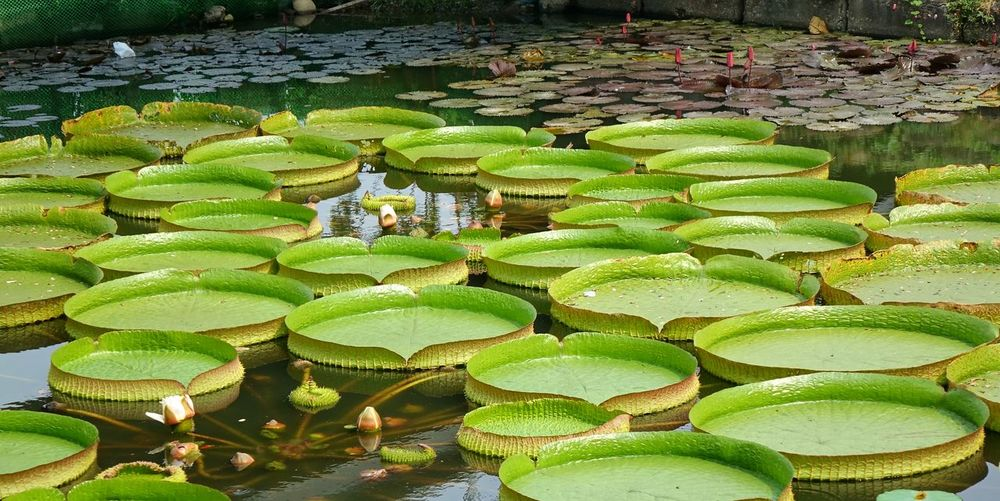 Close-up of water platters floating on pond