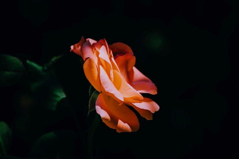 Gül Flowering