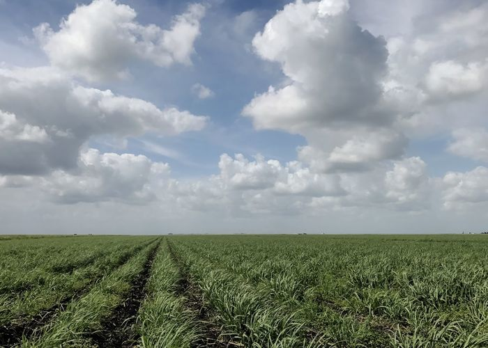 Young sugarcane growing in southern Florida. Sugarcane Sugarcane Field Agriculture Field Landscape Farm Sky Rural Scene Crop  Cloud - Sky Day No People Horizontal Production Agriculture Betterlandscapes