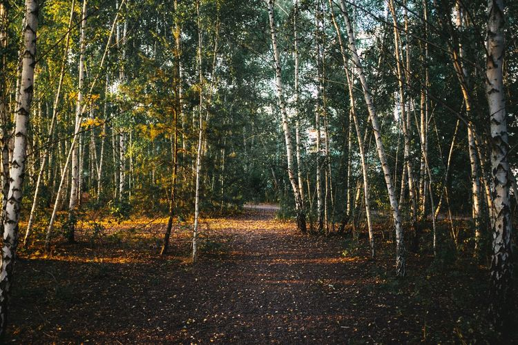 Footpath Between Birch Trees At Forest