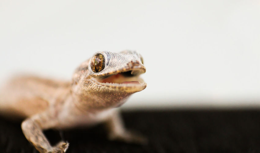 Macro shot of gecko