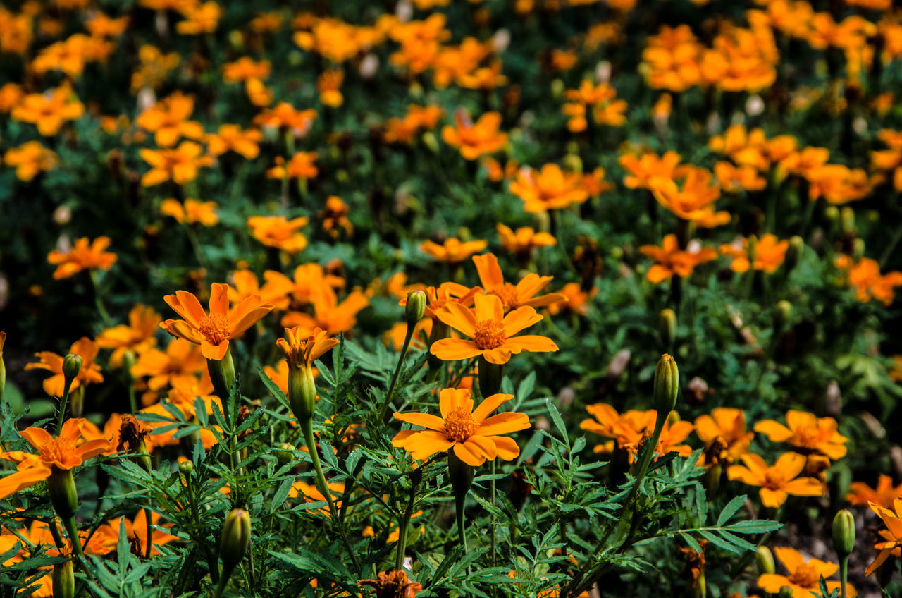 Marigold Flowers Blooming At Park
