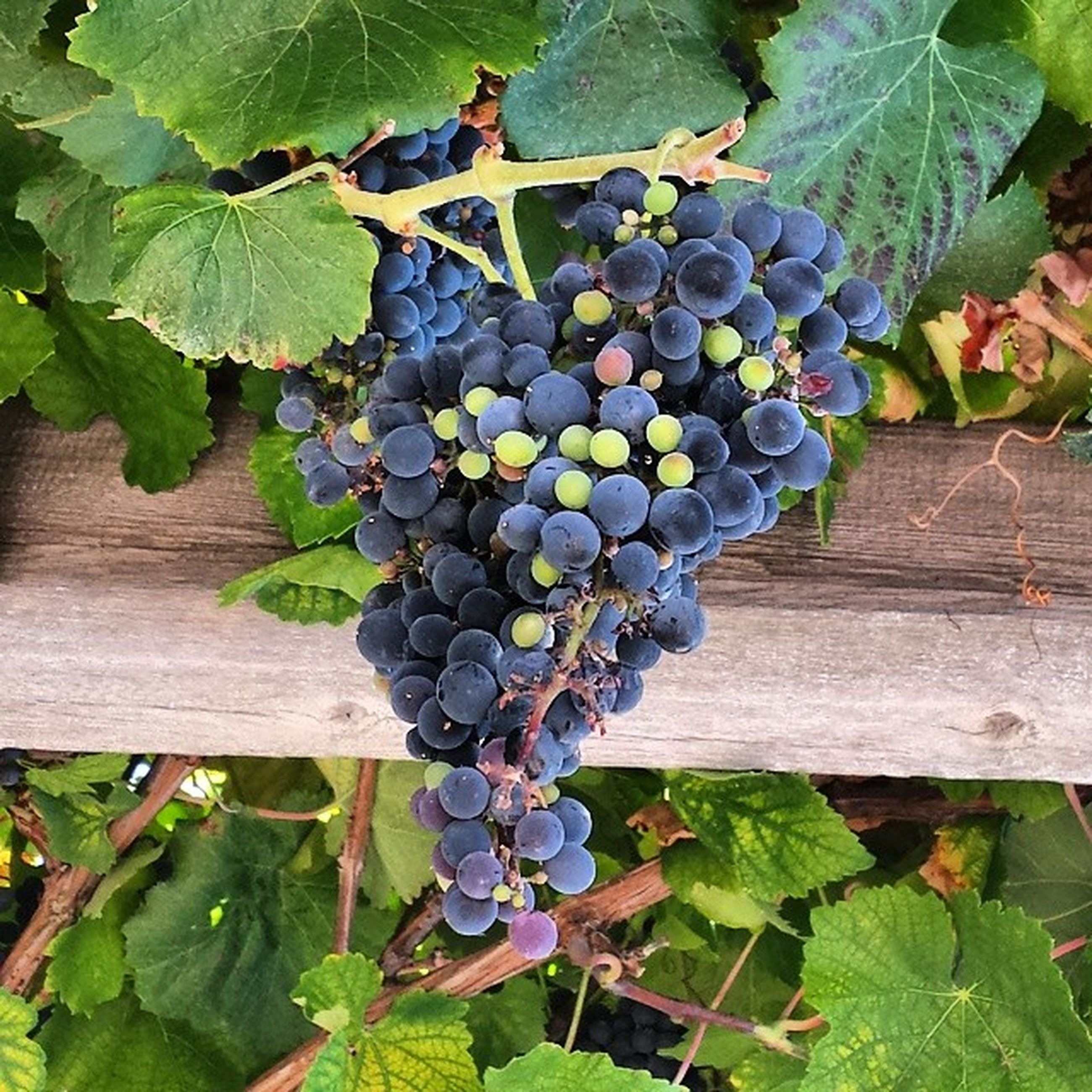 fruit, freshness, growth, leaf, food and drink, healthy eating, vineyard, grape, green color, food, plant, vine, bunch, agriculture, hanging, nature, wood - material, tree, growing, ripe