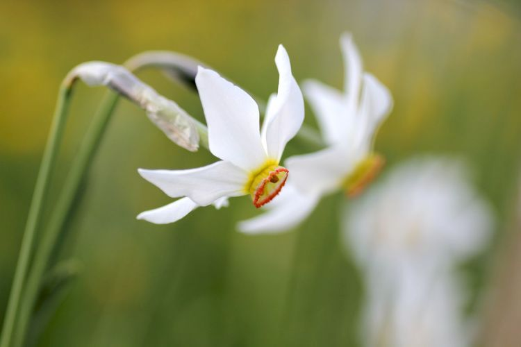 Close-up Narcissus Flowers