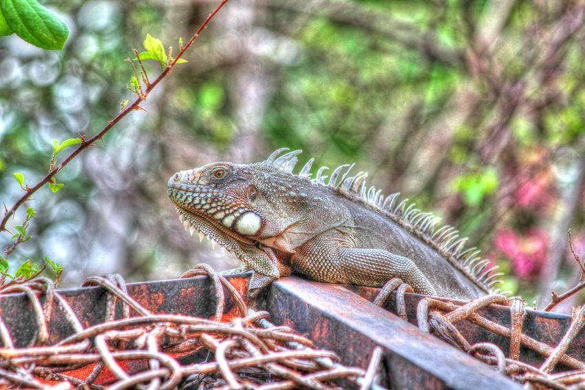 Lagarto Lizard Animal_collection Wildlife Macro_collection Bucket Animal Photography Reptiles Nature_collection
