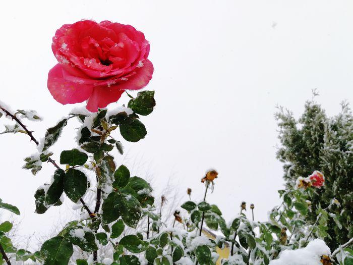 Snow Snowing Frozen Nature Frozen Rose Frozen Flower Winter Garden In Winter Flower Red Nature Rose - Flower Plant Petal Flower Head
