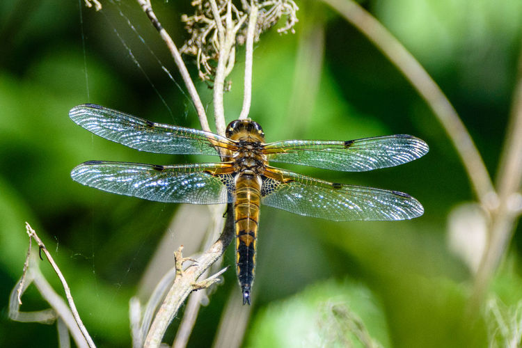 Four-spotted chaser Dragonfly Animal Animal Themes Animal Wildlife Animal Wing Animals In The Wild Beauty In Nature Close-up Dragonfly Photograohy Four-spotted Chaser Insect Insect Photo Insect Photography Insects  Insects Collection Invertebrate Nature One Animal