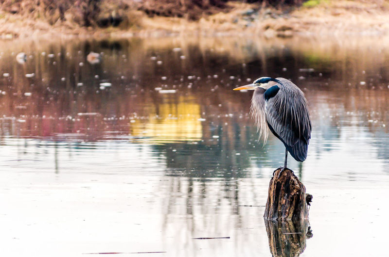 Gray Heron On Wooden Post In Lake