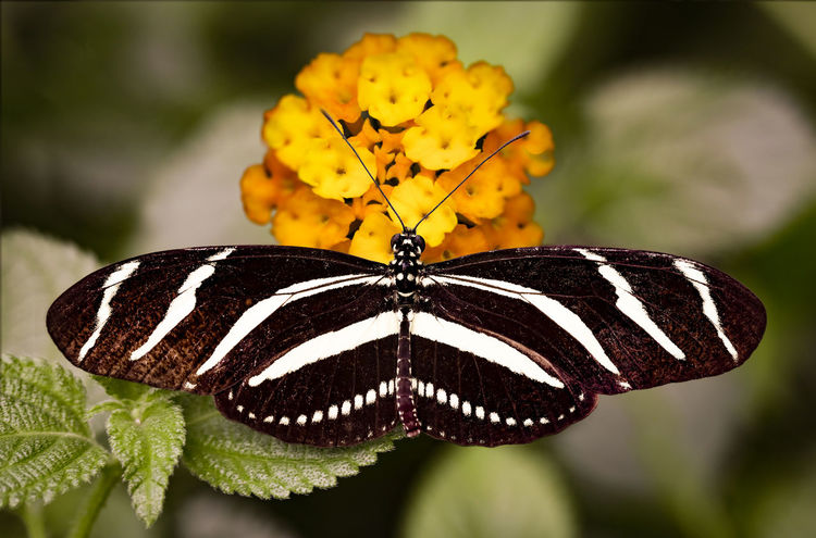 Zebra Longwing Butterfly Animal Themes Butterfly Butterfly - Insect Close-up Insect
