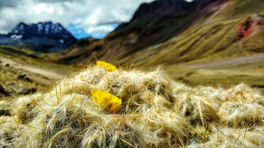 Nature Mountain Beauty In Nature Cactus Uncultivated Plant No People Outdoors Growth Cloud - Sky Flower Day Landscape Tranquility Close-up Desert Scenics Sky Mountain Range Fragility Yellow Flower Perù 🇵🇪