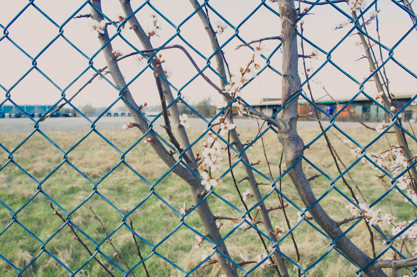 Blüten am Zaun Backgrounds Barrier Boundary Chainlink Fence Close-up Day Fence Focus On Foreground Full Frame Land Metal Nature No People Outdoors Pattern Playing Field Protection Safety Security Sport Spring Springtime Springtime Blossoms
