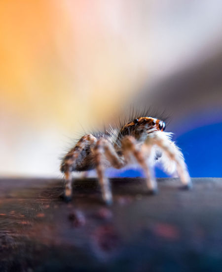 jump spider waiting Animal Hair Animal Themes Animals In The Wild Close-up Day Focus On Foreground Insect Nature No People One Animal Selective Focus Spider Spiked Wildlife Zoology