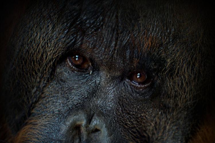 Close-up portrait of orangutan