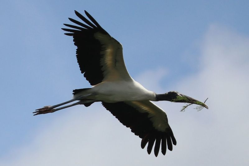 Bird Wood Stork Spread Wings Animals In The Wild One Animal Animal Themes Animal Wildlife Low Angle View Mid-air Nature Day Sky Outdoors Full Length No People Motion Clear Sky The Great Outdoors - 2017 EyeEm Awards Beauty In Nature Nature Birds In Flight