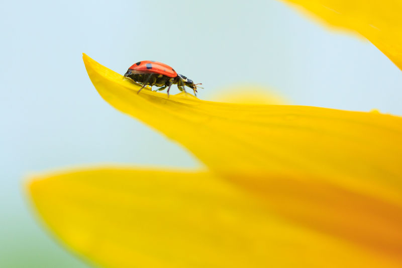 Ladybug on a sunflower petal Paint The Town Yellow Nature Insect Animals In The Wild Summer Yellow Animal Themes One Animal Close-up Flower Petal Sunflower Yellow Flower Ladybug Red Colorful
