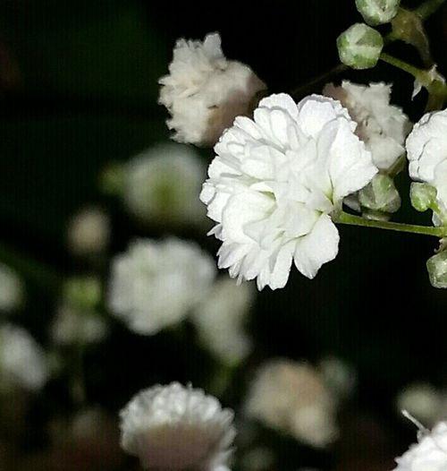 Babys Breath White Cut Flowers Ohio, USA