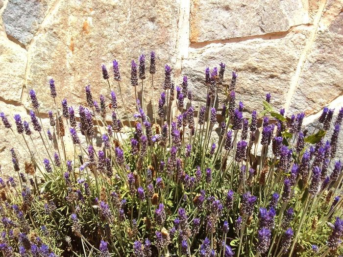 Lavander Lavender Plantsandflowers Alicante Province Spain Spainphotographer Spain_vacations Costa Blanca Holiday Botany Tranquility Backgrounds Close-up Flowering Plant Sunlight Outdoors No People Vulnerability  Fragility
