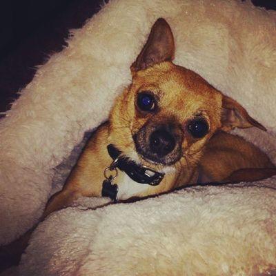 Dailyzigga all comfy in his new bed Goodnight Ziggysmalls Ziggazaa