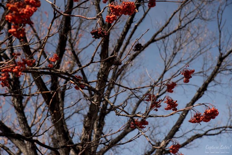 Nature Tree Beauty In Nature Growth Branch Low Angle View Berry Fruit Red Outdoors Sky No People Freshness Food And Drink Day Fruit Berry Food Close-up Rowanberry